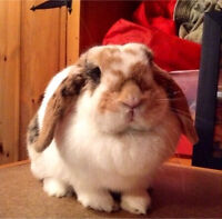 I am looking for a mini lop rabbit!