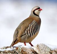 Looking for all kind of partridge
