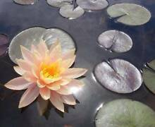 HARDY WATERLILY OVERSTOCK CLEARANCE Merrimac Gold Coast City Preview