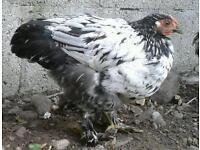 Pekin bantam cockerel