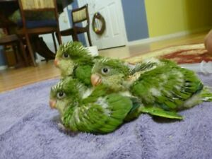 Special Bebe quaker Vert 8 semaines weeks old baby Green Quaker❤