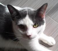 Baby Female  - Domestic Short Hair - gray and white