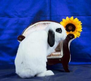 """Adult Female Rabbit - Holland Lop: """"Mikah"""""""