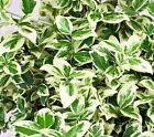 Evergreen Vines & Climbing Plants