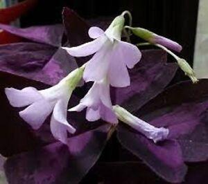 3 x Oxalis Triangularis flowering sized bulbs