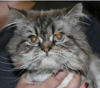 "Adult Male Cat - Persian: ""Yoda"""