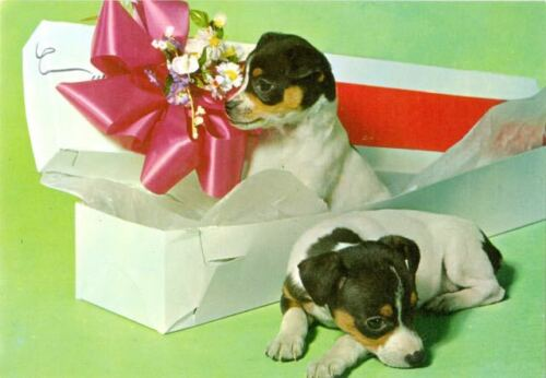 Dog Photo Oversize Postcard 2 Rat Terrier Puppies Italy c1980
