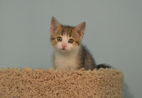 8 + 12 Week Old Kittens - Spayed/Neutered/Vaccinated