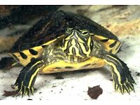 Yellow belly turtles
