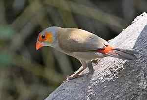Red chicks waxbill
