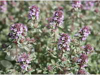 Silver Posie Thyme Herb - 5 x 9cm Pots | Easy Care | Hardy | Perennial Plants