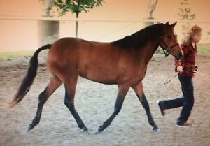 Coming 3yr old Pony Prospect