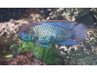 Electric Blue Acaras Tropical Fish
