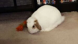 2 year old Holland Lop female