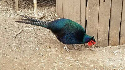 6 Green Melanistic Pheasant Hatching Eggs