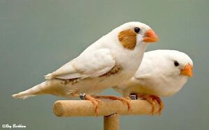 ZEBRA/SOCIETY FINCHES