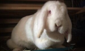Holland Lop Female Bunny - not spayed