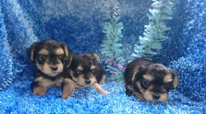 MORKIE PUPPIES!!