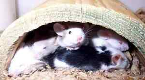 (10) Live or Freshly Frozen Feeder Mice
