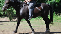 Black beautiful Mare for sale to good home only!