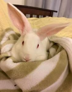 """Young Female Rabbit - New Zealand: """"Remi"""""""