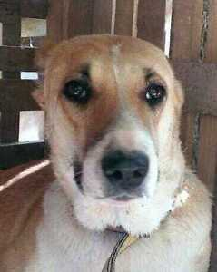 "Adult Female Dog - Labrador Retriever-Border Collie: ""SARAH"""