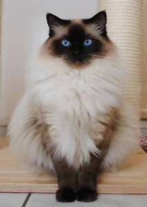 Purebred Male Ragdoll Westminster Stirling Area Preview