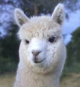 Want to breed Alpacas? Quality starter packages available Candelo Bega Valley Preview