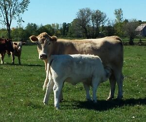 15 Good Quality Bred Cows