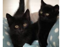 Really cute, good natured black kittens - £45 each - Benenden, Kent.