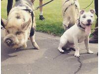 DOG WALKER - JJ'S DOG WALKING SERVICE COVERING SHEPHERDS BUSH, HAMMERSMITH, CHISWICK