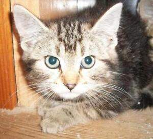 "Young Female Cat - Domestic Short Hair-Tabby: ""Carla"""