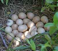 Guinea hen eggs for hatching