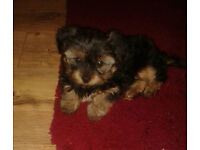 Male Miniature Yorkshire terrier pup Kc reg / microchipped £350