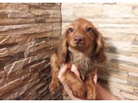 Dachshund Longhaired Rare chocolate and cream puppies