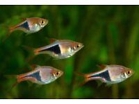 6x Harlequin Rasbora for sale live tropical fish