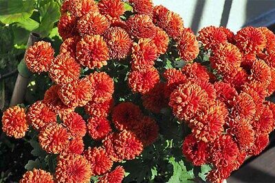 Flower, MUMS DOUBLE AND SEMI DOUBLE MIX 125 Seeds Annual COLORFUL- FREE Shipping (Double Mixed Colors Flower)