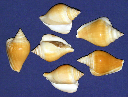 "Dog Conch Shells Natural Strombus canarium 2"" Seashell Craft/Supply~3/6 Pcs."