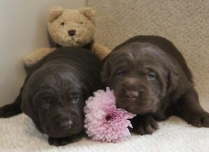 PURE-BRED CHOCOLATE LAB PUPPIES