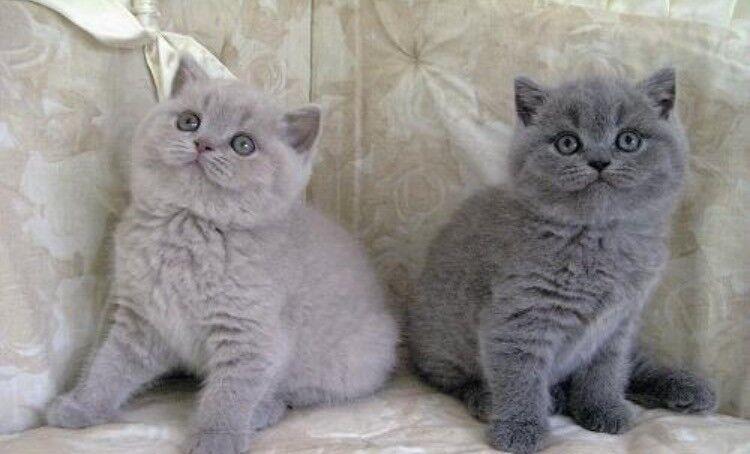 Russain Blue Cat Prices