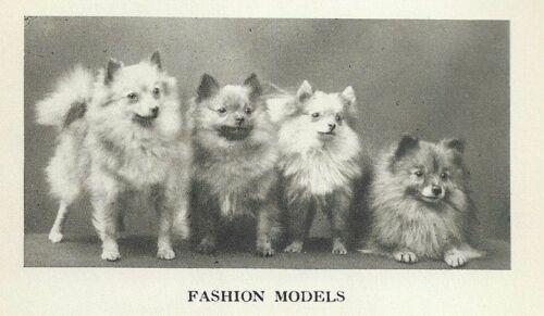 "Pomeranian ""P"" - 1931 Vintage Dog Print - MATTED"