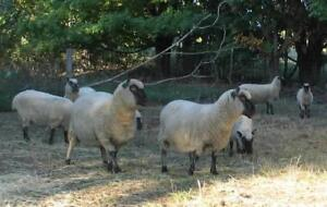 Meat lambs for sale