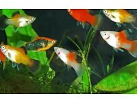 Beautiful Platy tropical fish *Home Delivery*