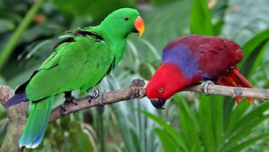 Looking For A Male Or Female Eclectus Parrot