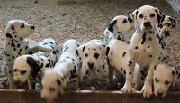 Amazing Dalmatian Puppies