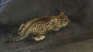 AFRICAN SERVAL HYBRYDS F2 F4 AND F5 ( savannah kittens)