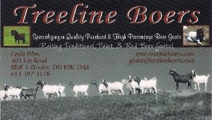 Boer Goats for sale