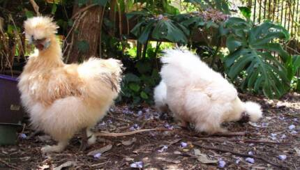 2 White/1 Buff Silkie Chickens, lovely friendly pets $45ea St Ives Ku-ring-gai Area Preview