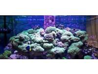 Marine aquarium long lash green star polyps