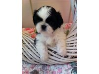 SHIH TZU FUR BABIES WAITING FOR FOREVER LOVING & CARING MUMS